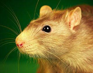 К чему снится рыжая крыса?