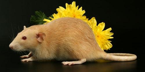 к чему снится рыжая крыса