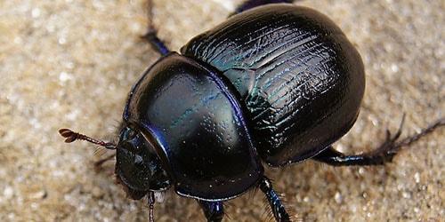 видеть во сне жука скарабея