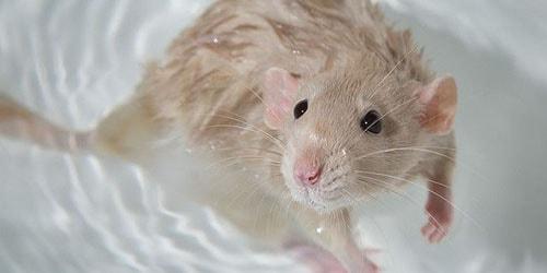мышь в воде