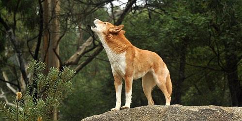 к чему снится что воет собака