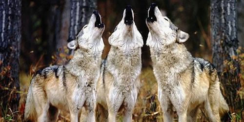 слышать вой волков во сне