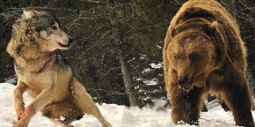 к чему снится борьба волка и медведя