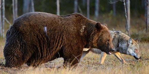 волк и медведь идут по лесу во сне