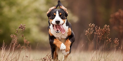 трехцветный пес