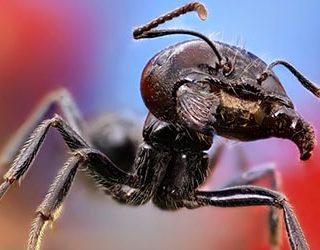 Большой муравей