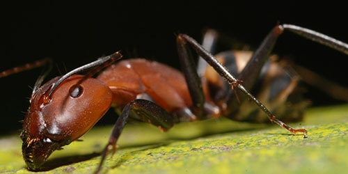 видеть во сне большого муравья