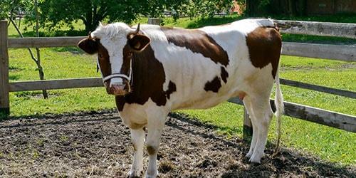 к чему снится загонять корову во двор