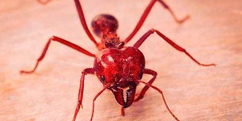 видеть во сне красных муравьев