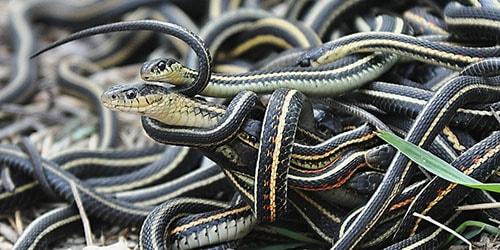 много змей