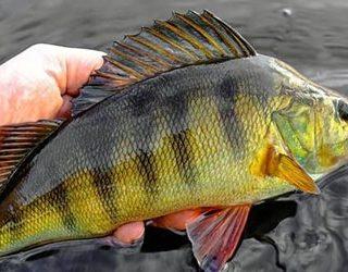 К чему снится муж поймал рыбу?