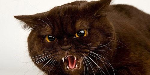 к чему снится что напала черная кошка
