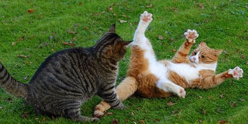 коты дерутся