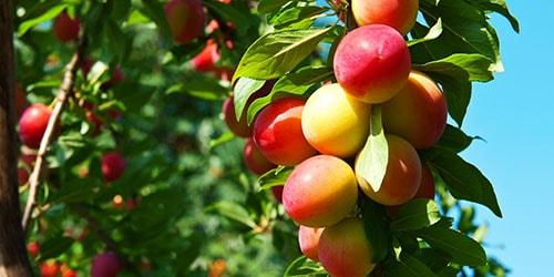 видеть во сне плоды на дереве