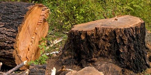 к чему снится спиленное дерево