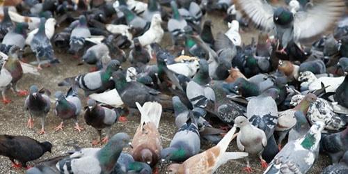 видеть во сне стаю голубей