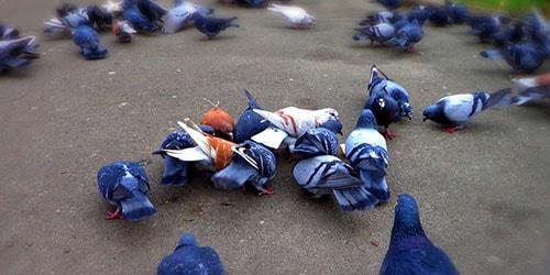 к чему снится стая голубей