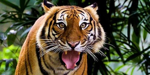 тигр нападает во сне