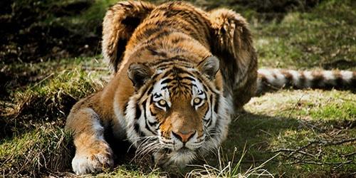 к чему снится что тигр нападает