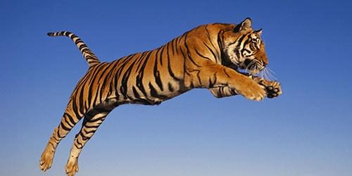 прыжок хищника