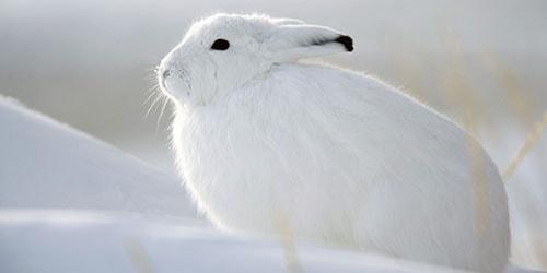 полярный заяц