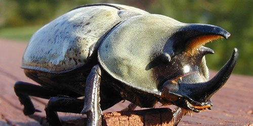 жук носорог