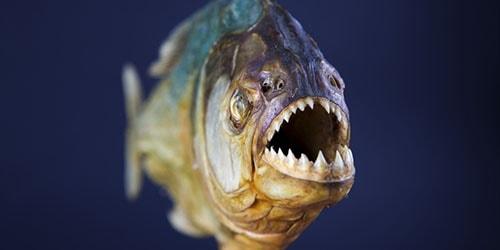 хищная рыба