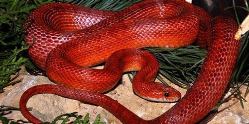 видеть красную змею во сне