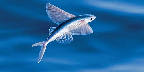к чему снятся летающие рыбы