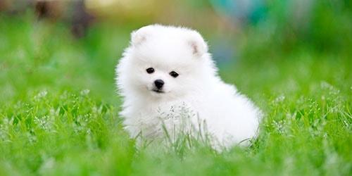 белый щенок
