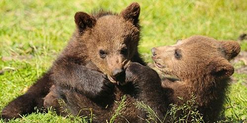 к чему снятся медвежата