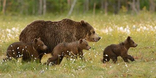 медведица с детенышами