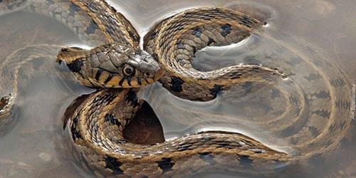 змея в воде