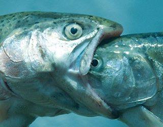 К чему снится что рыба съела рыбу?