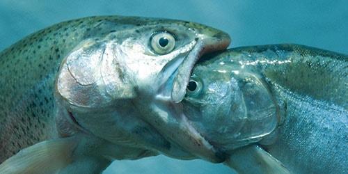 к чему снится что рыба съела рыбу