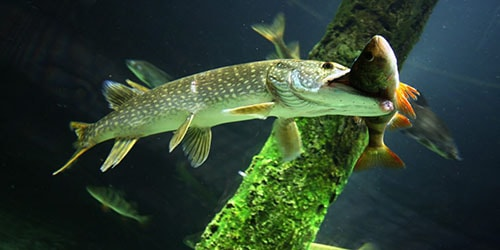 рыба съела рыбу во сне