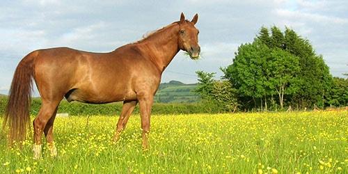 к чему снится рыжий конь в поле