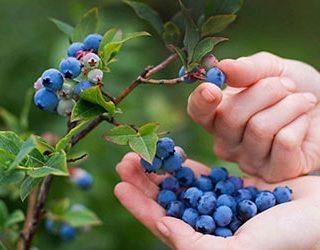 Собирать ягоды