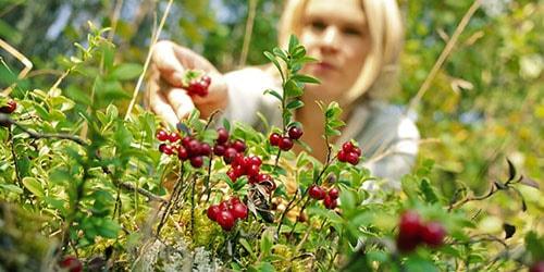 собирать ягоды в лесу во сне
