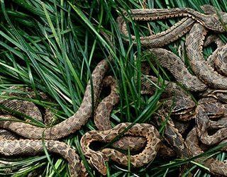 К чему снятся змеи под ногами?