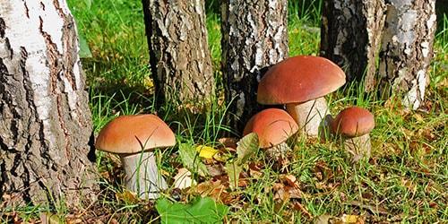 видеть во сне белые грибы