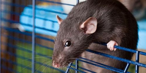 видеть во сне домашнюю крысу