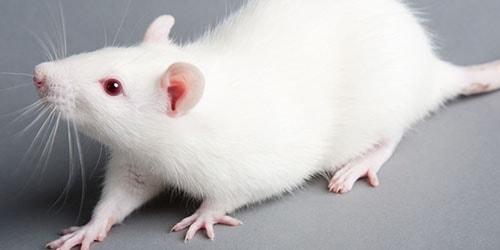 к чему снится белая домашняя крыса