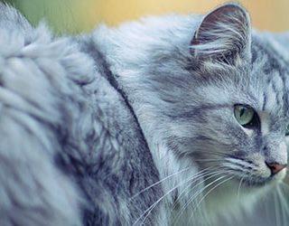 Серый кот или кошка