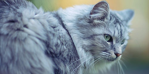 к чему снится пушистый серый кот