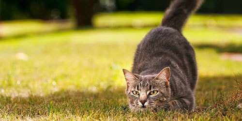 кот охотится