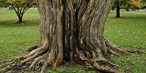 к чему снится ствол дерева