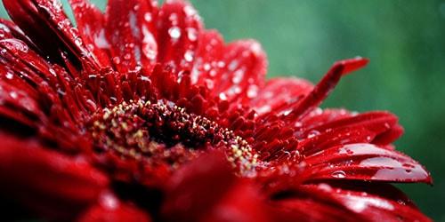к чему снится красный цветок