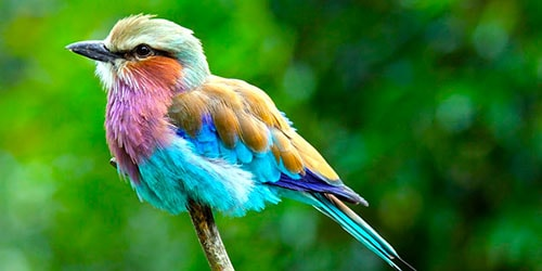 цветная пташка