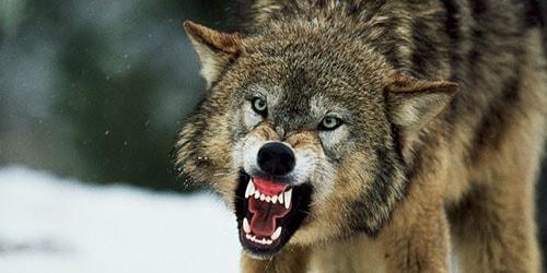 волк кусает во сне